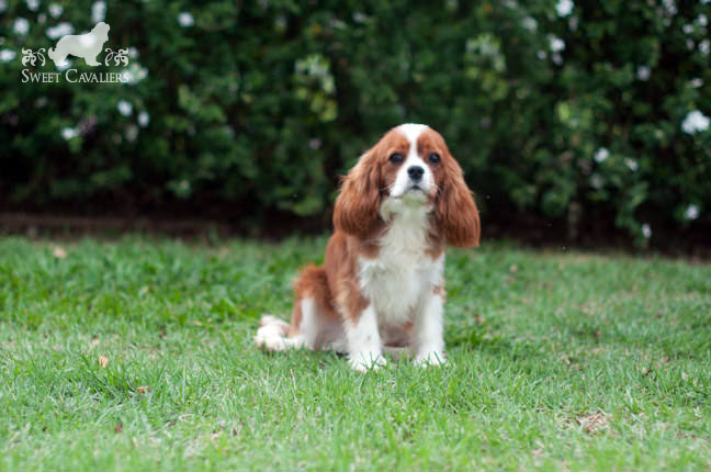darby cavalier king charles spaniel 2