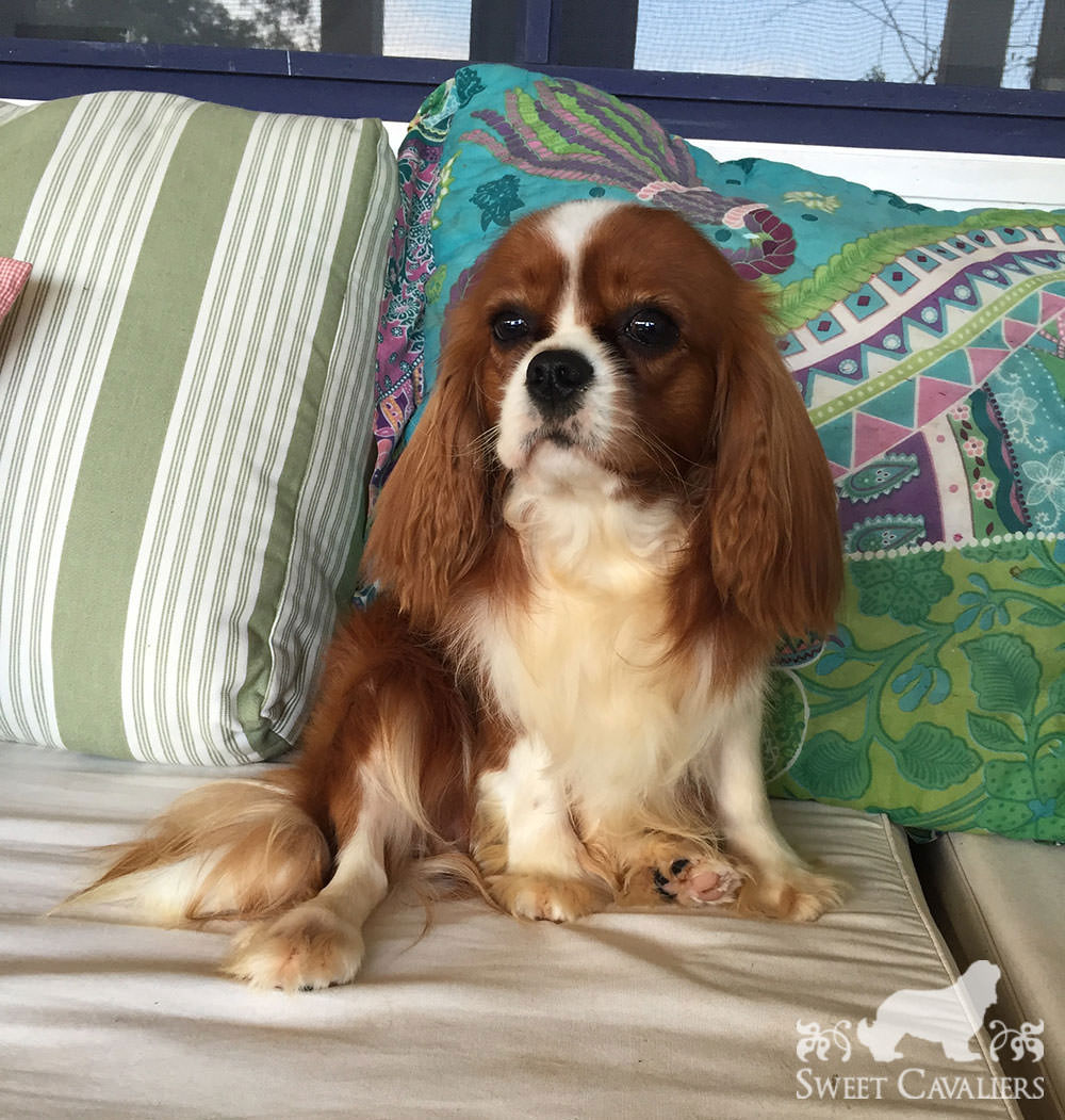 darby cavalier king charles spaniel 3