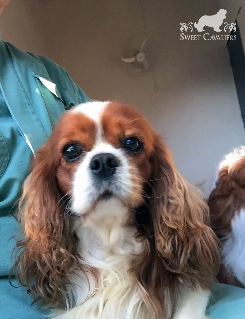 darby cavalier king charles spaniel 4