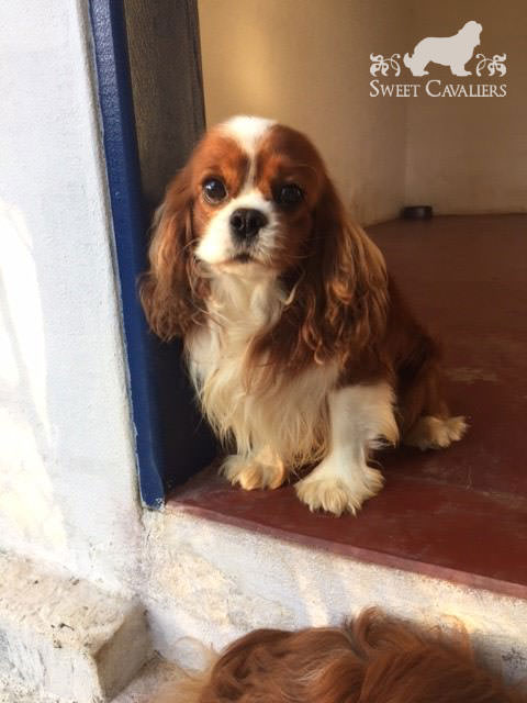 darby cavalier king charles spaniel 5