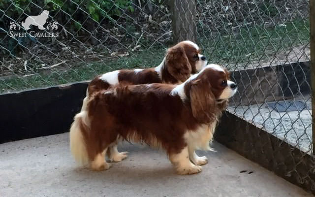 darby cavalier king charles spaniel 9